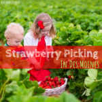 Strawberry picking, Des Moines, Iowa. Pick your own produce