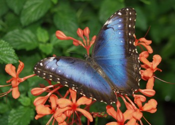 blue-morpho-butterfly-at-reiman-gardens-350x250