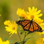 Monarch tagging, Des Moines, Iowa, monarchs, butterflies