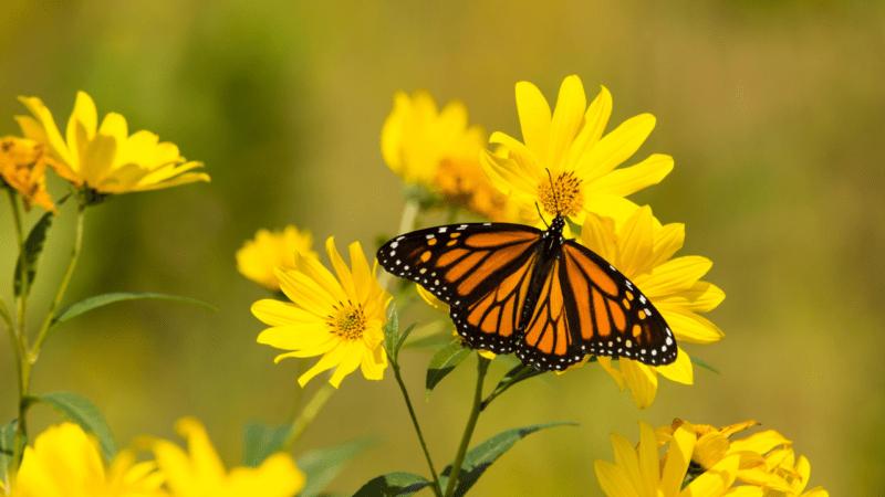 Monarch Tagging in Des Moines
