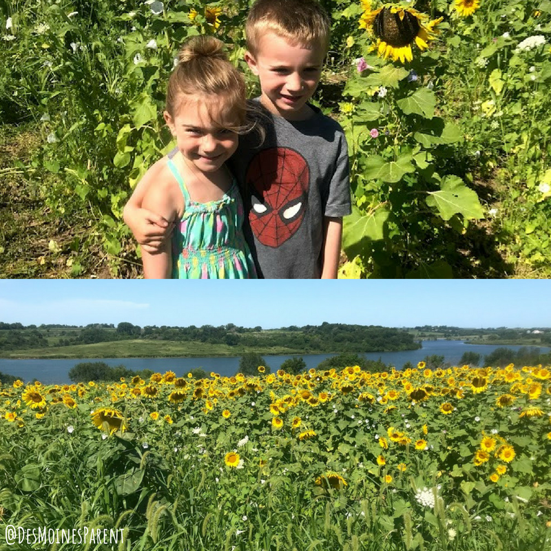 Van Meter, sunflowers, Iowa