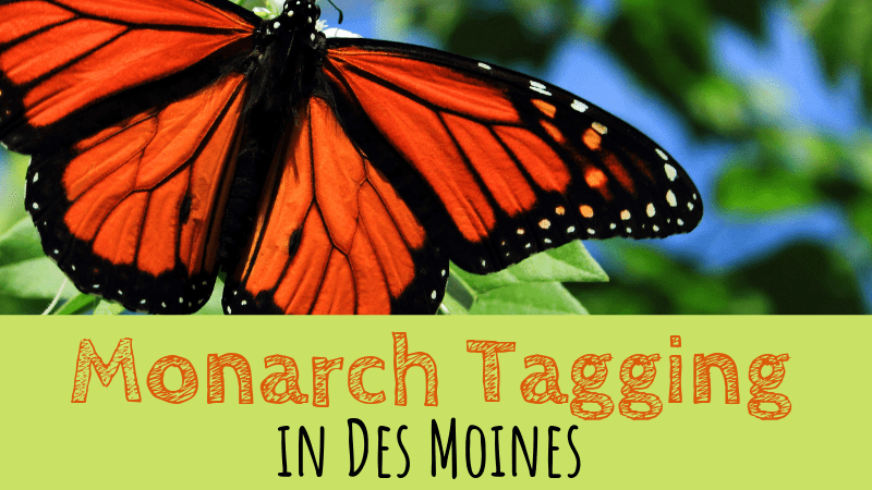 Monarch Tagging in Des Moines