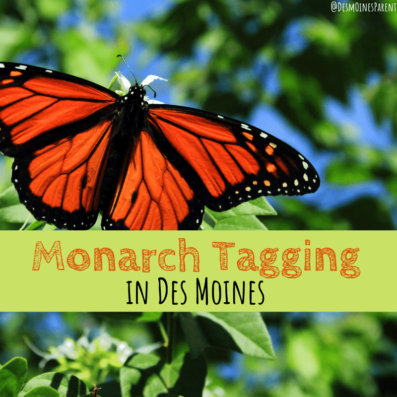 Monarch tagging, Des Moines, Iowa, monarchs, butterflies